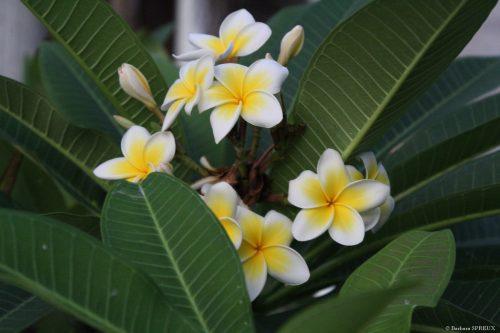 Spreux Barbara - Fleur de frangipanier