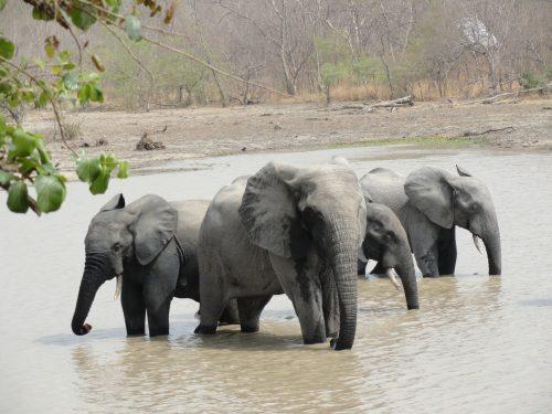 Jeunes Éléphants mâles