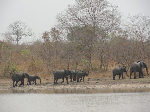 Femelles et jeunes Éléphants