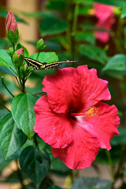 """Isabelle Thibault """"Le papillon et l'hibiscus"""""""